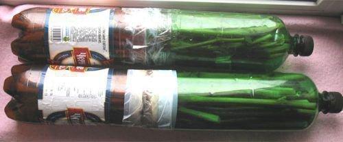 Черенки винограда в бутылке