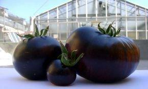Сорт томата Черный принц: характеристика и описание вида