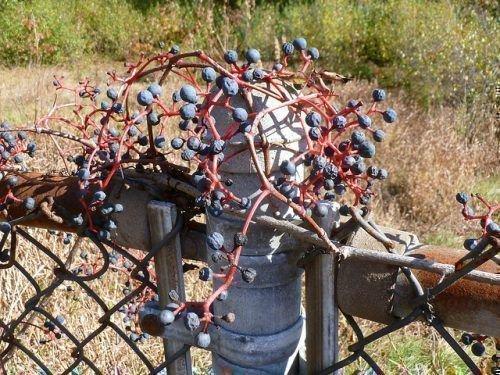 Девичий виноград ягоды