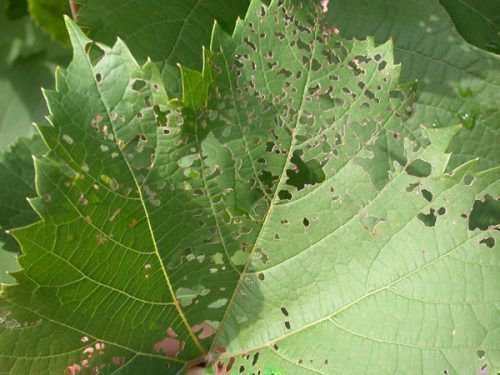Дырявый лист винограда