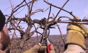 Как правильно формировать рукава винограда?