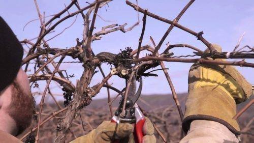 Формирование рукавов винограда
