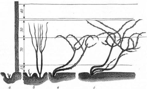 Формировка одностороннего веера винограда