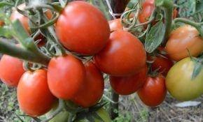 Рио Гранде - голландский томат