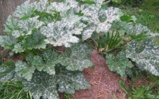 Как правильно посадить кабачки на компостную кучу?