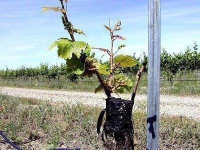 Как посадить саженцы винограда