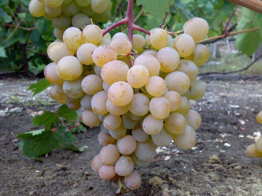 Краса Дона - гроздь
