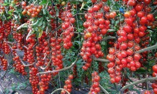 Помидора сорта Красная вишня