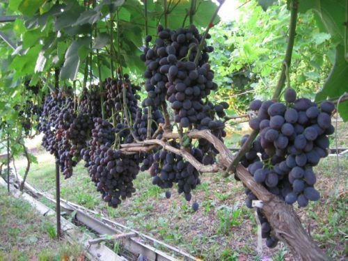 Куст винограда Гала