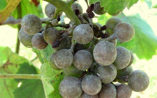 Милдью (ложная мучнистая роса) винограда