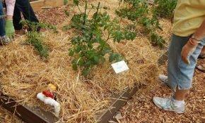 Большой урожай помидор с применением техники мульчирования