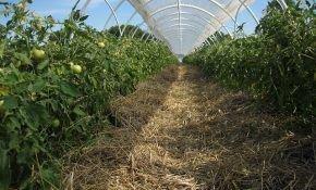 Разновидности томатов: низкорослые сорта