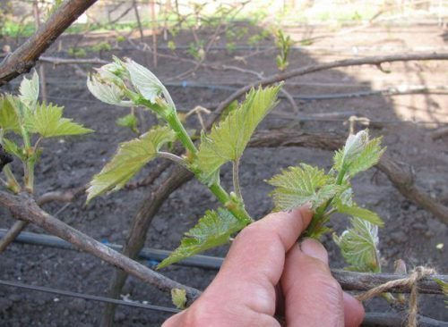 Обламывание лишних побегов винограда