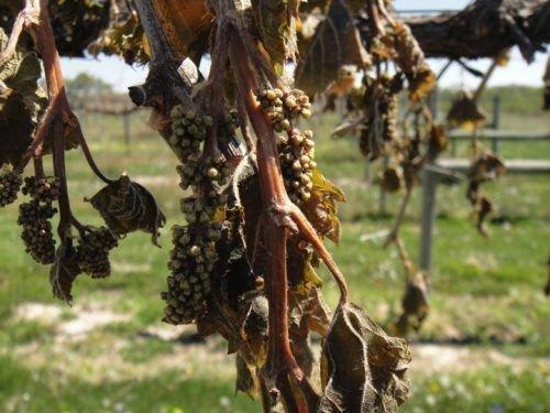 Обмороженный виноград