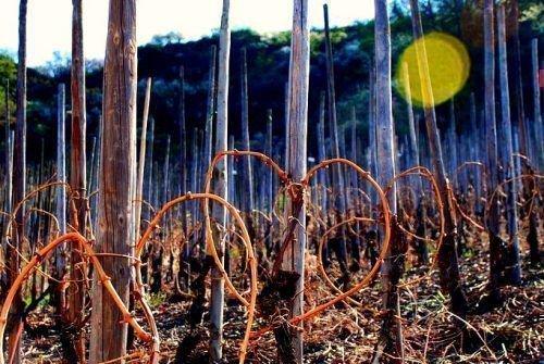 Обрезанный виноград сердцем