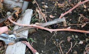 Как делать обрезку винограда по Горлову. Основы ухода