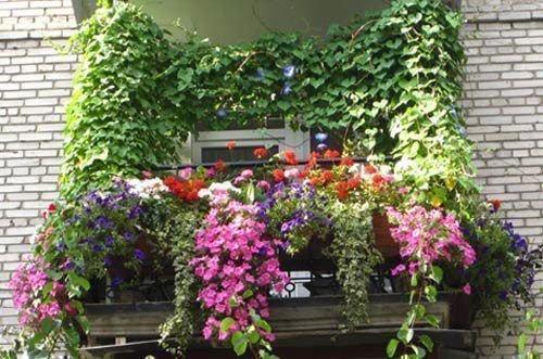 Оформление балкона девичьим виноградом