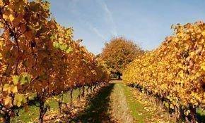 Уход за виноградом осенью – чем опрыскивать