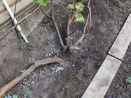 Открытие винограда весной