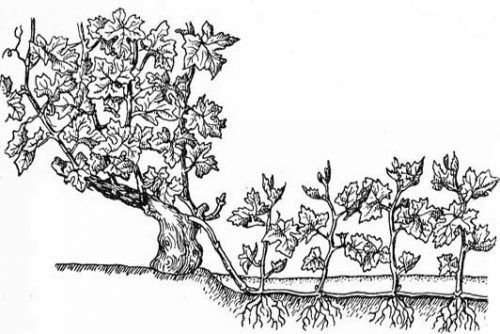 Отводки винограда