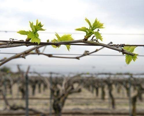 Первые почки на винограде