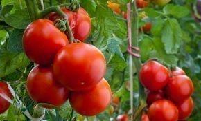 Особенности выращивания ранних помидор