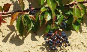 Способы посадки девичьего винограда осенью