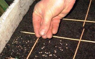 Семена капусты: как сажать в открытый грунт