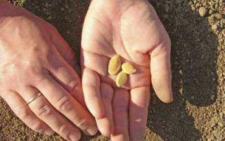 Как высаживать тыкву в открытый грунт