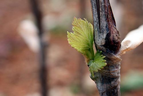 Привитый черенок винограда