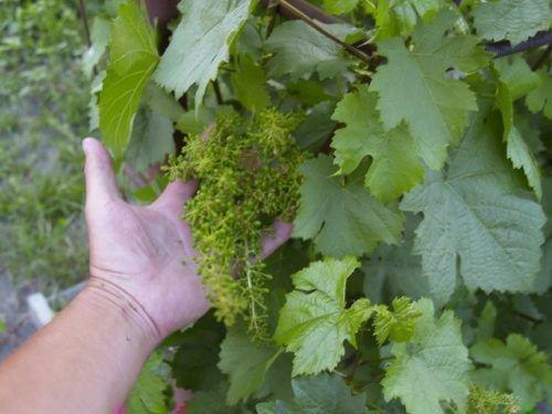 Прореживание листьев винограда
