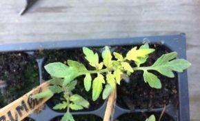 Эффективная защита рассады помидор