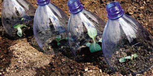 Ростки капусты под бутылками