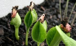 Выращивание и уход за всходами тыквы