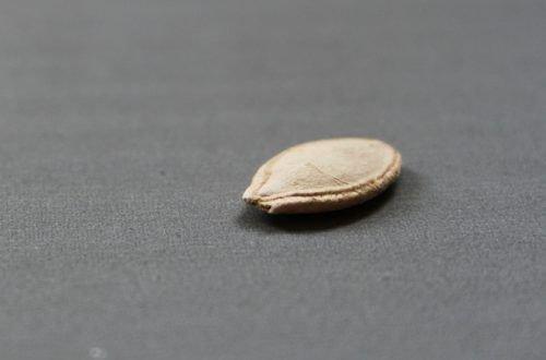 Семя кабачка