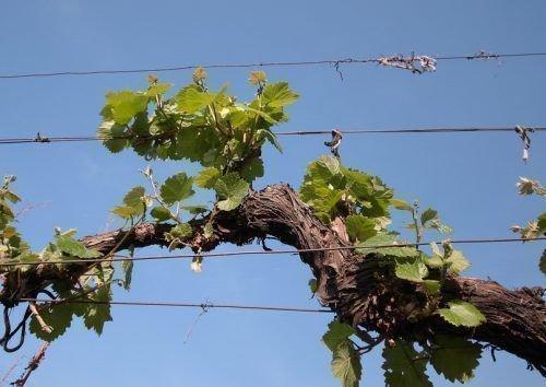 Старый рукав винограда