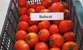 Описание характеристик томата Бобкат