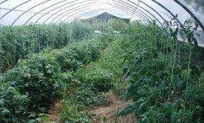 Подкормка и экологически чистые помидоры в теплице