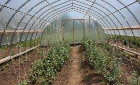Какая температура оптимальна для выращивания томатов