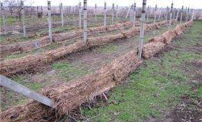 Когда именно осенью необходимо укрывать виноград?