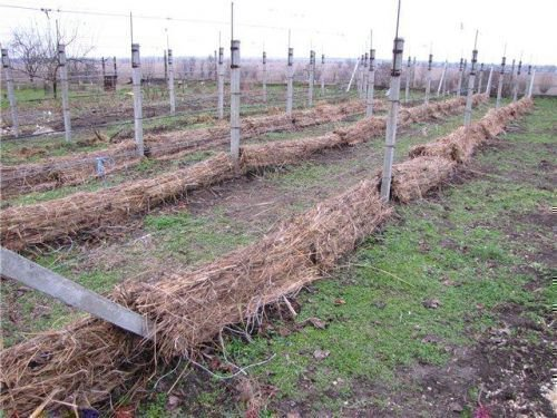 Укрыть виноград на зиму