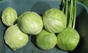 Как вырастить капусту позднюю