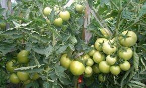 Преимущества сорта томата Андромед