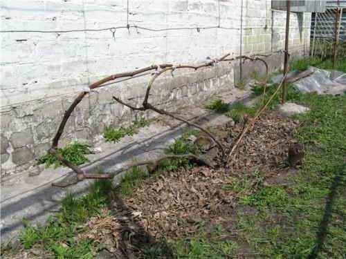 Веерная формировка винограда