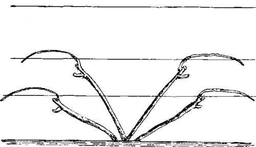 Веерная формировка винограда схема