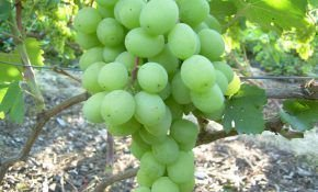 Виноградный сорт Алекса, характеристика и особенности