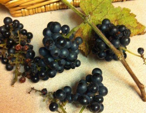 Виноград Берландиери