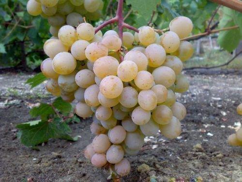Виноград Бируинец