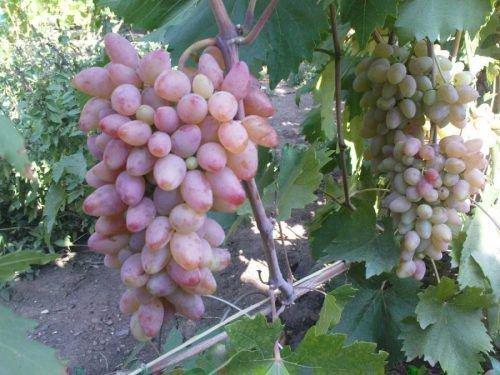 Виноград Чаррель
