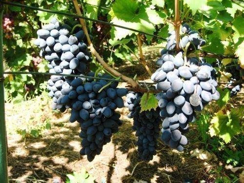 Виноград Додреляби